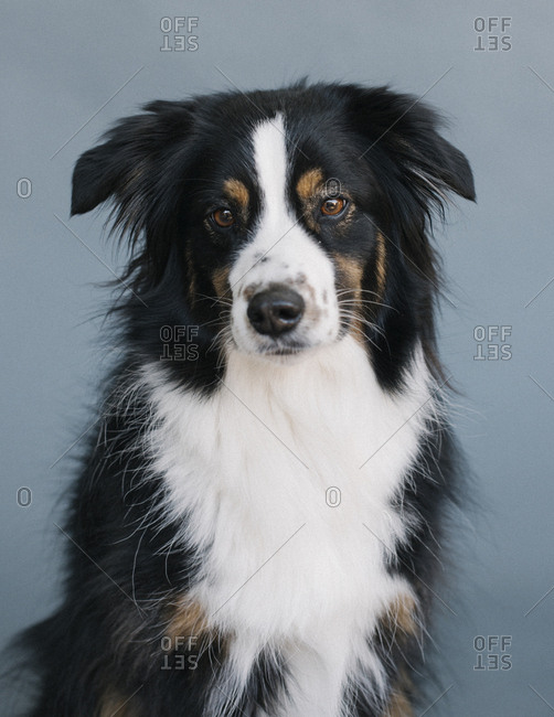 Head and shoulders portrait of an Australian shepherd