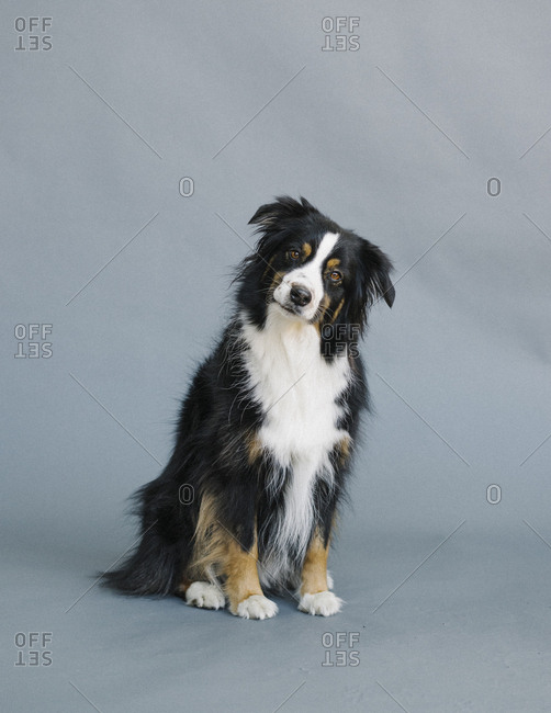 Portrait of an Australian shepherd with a confused expression