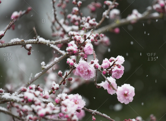 Snowflakes falling on blooming cherry blossoms