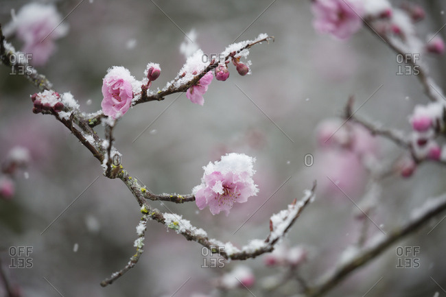 Snow falling on pink cherry blossoms