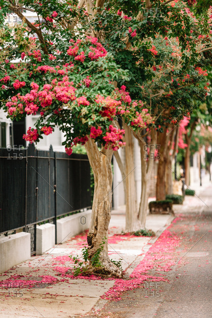 Flowering crepe myrtles on a city sidewalk