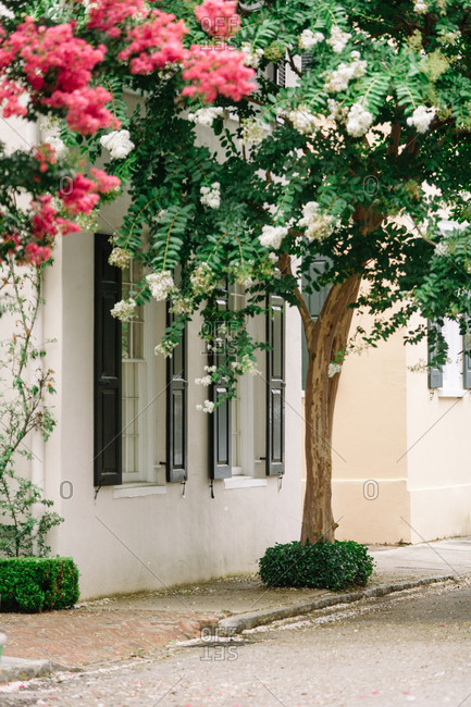 Flowering crepe myrtle trees on a sidewalk near a home