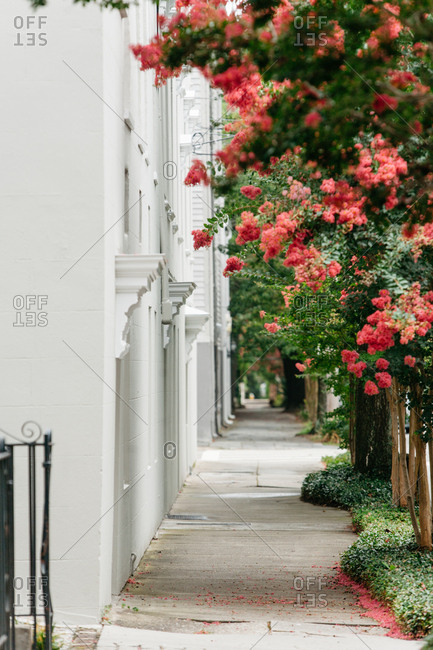 Sidewalk between historic homes and flowering crepe myrtles