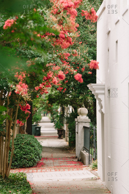 Sidewalk sprinkled with petals from  crepe myrtle trees