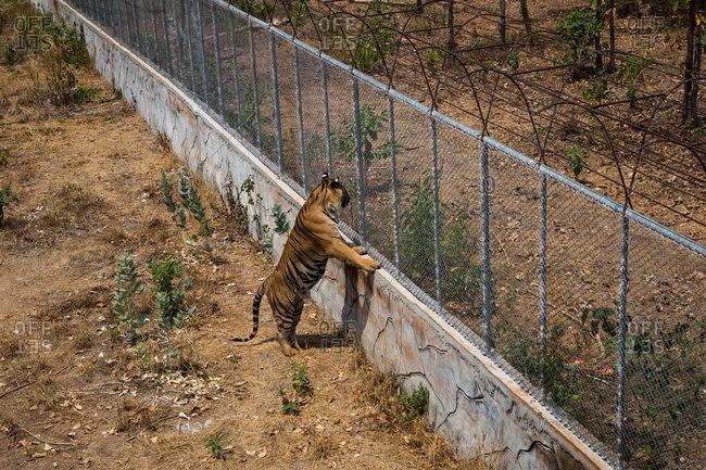 Tiger looking over enclosure wall