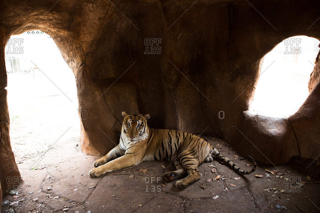 Tiger lying in shady enclosure