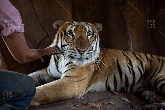 Handler petting a tiger