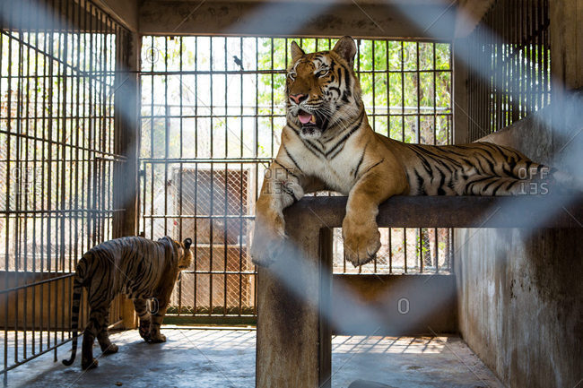 Two tigers in a cage enclosure