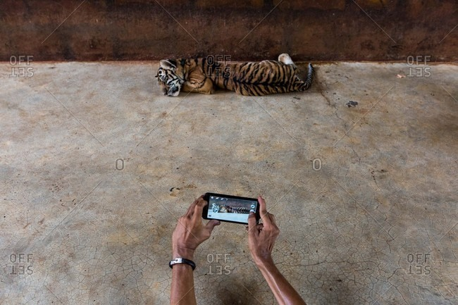 Taking photo of a baby tiger
