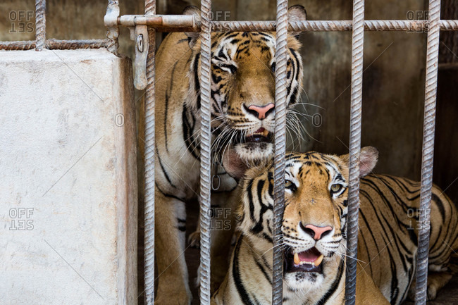 Tigers looking through bars of enclosure