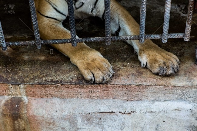 Tiger paws reaching under cage bars