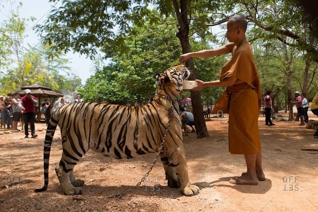 Kanchanaburi, Thailand - May 10, 2015: Monk feeding a captive tiger