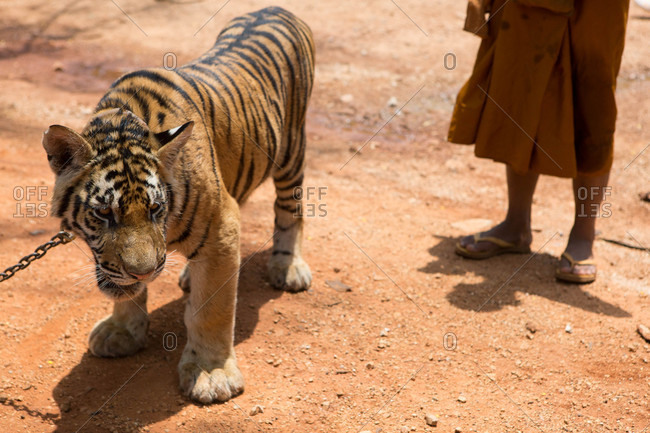 A chained tiger standing outside