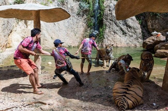 Kanchanaburi, Thailand - May 10, 2015: Handlers by group of tigers