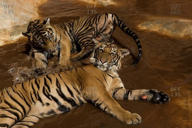 Tigers lying together in water