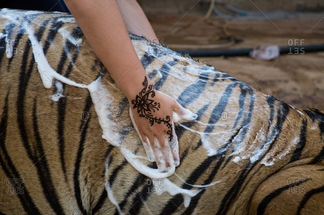 Hand of person washing tiger