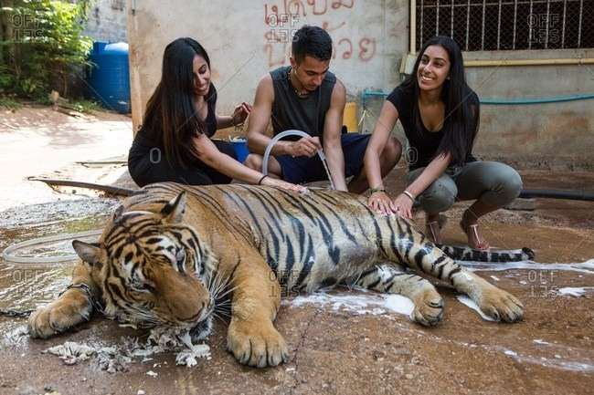 Kanchanaburi, Thailand - May 10, 2015: People washing tiger as it eats