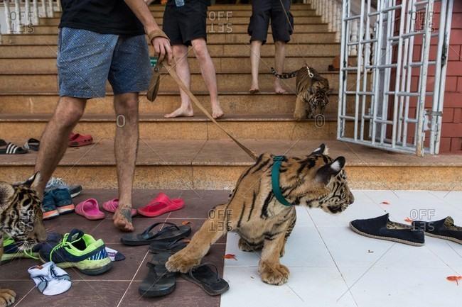 Kanchanaburi, Thailand - May 10, 2015: Taking baby tigers for walk on leash