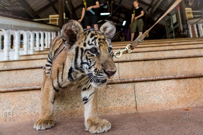 Kanchanaburi, Thailand - May 10, 2015: A baby tiger going for walk on leash