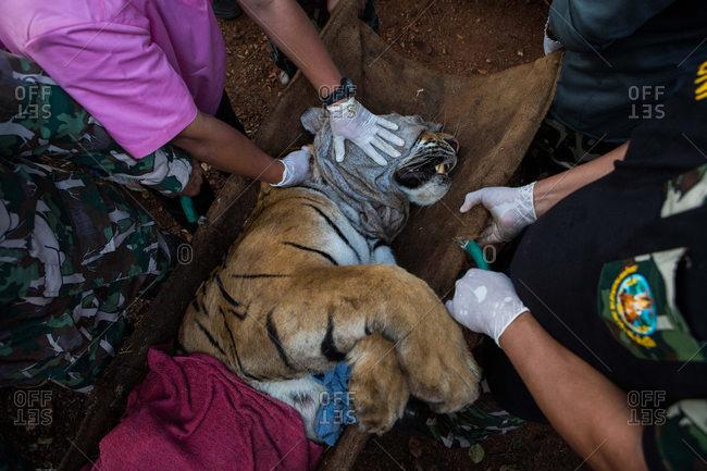Kanchanaburi, Thailand - June 3, 2016: Wildlife officers transporting a tiger
