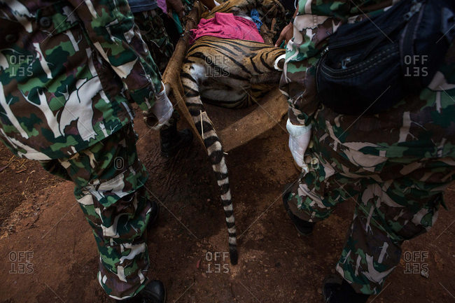 Wildlife officers transporting tiger