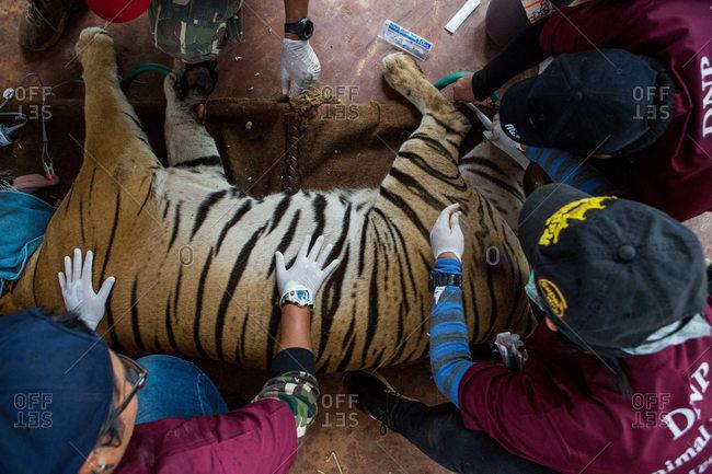 Kanchanaburi, Thailand - June 2, 2016: Vets sedating a tiger