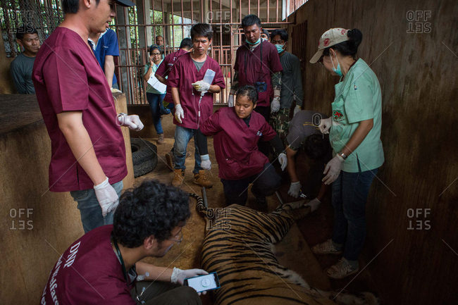 Kanchanaburi, Thailand - June 2, 2016: Vets sedate a tiger in enclosure