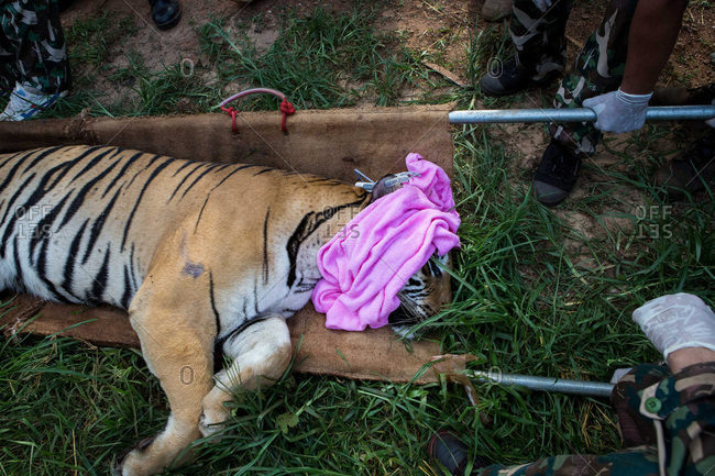 Kanchanaburi, Thailand - June 2, 2016: A sedated tiger during a transfer