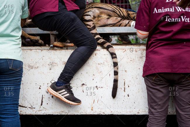 Kanchanaburi, Thailand - June 2, 2016: Vets sedate a tiger for transfer