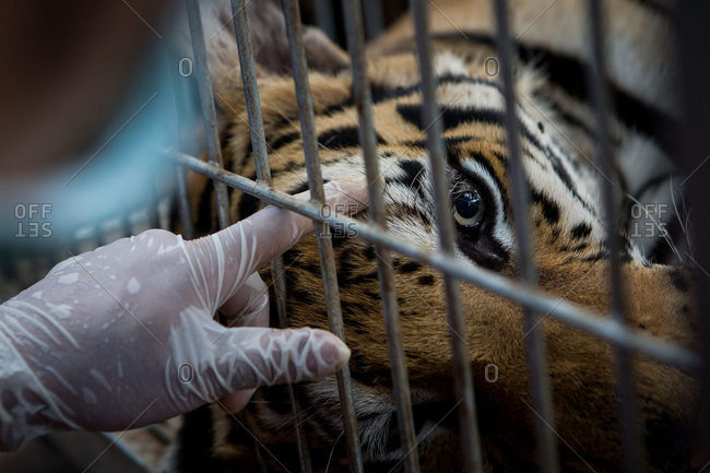 Hand petting a sedated tiger