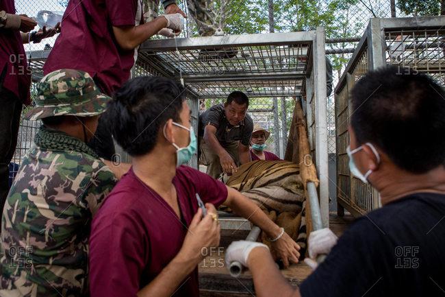 Kanchanaburi, Thailand - June 2, 2016: Wildlife officers transferring tiger
