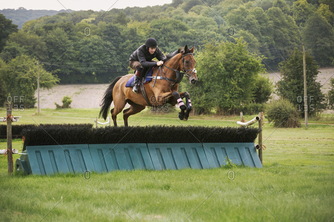 Man on a bay thoroughbred horse, jumping a brush fence, a racing hurdle on a rural point to point course.