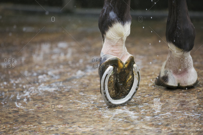 Close up of a horse's hoof with a new horse shoe.