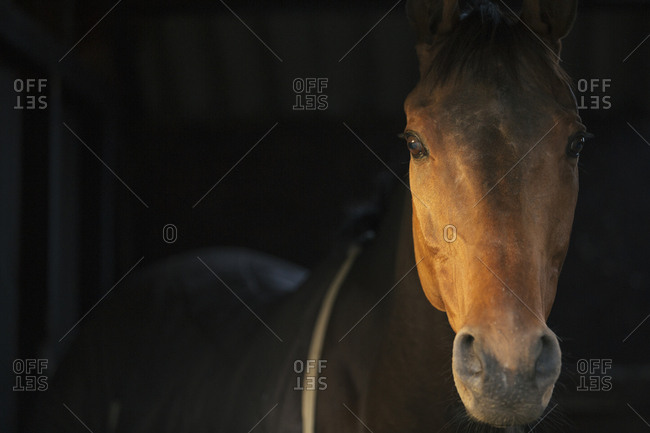 A thoroughbred bay horse, head of the animal, at a stable door.