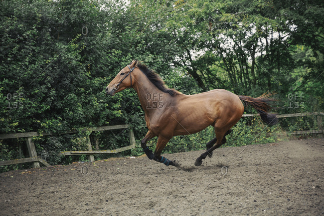 A bay thoroughbred racehorse in a paddock, lunging ring, cantering on a curve.