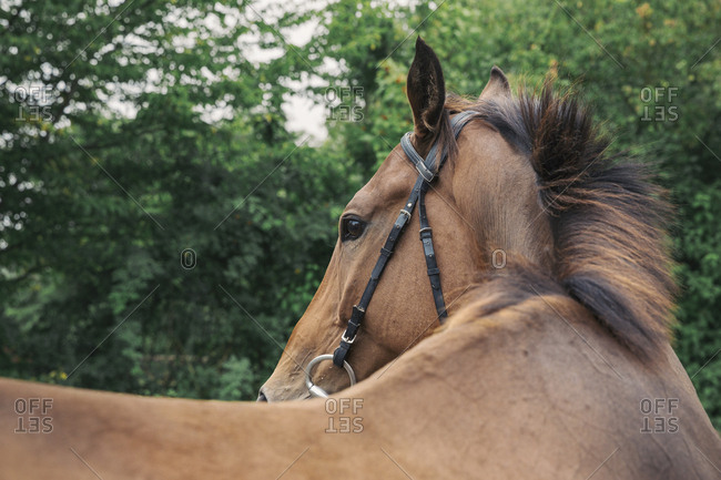 Close up of a bay horse in a bridle in a paddock, turning head.