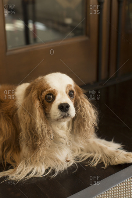 Portrait of a Cavalier King Charles Spaniel lying on floor