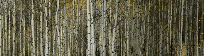 Aspen trees in a forest in Alberta, Canada.