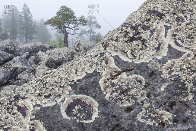 Arctoparmelia lichens, Arctoparmelia centrifuge, cover rocks in a forest.
