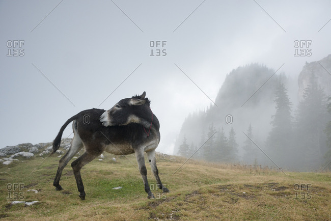 A donkey peers around a grassy patch in the foggy Piatra Mare Mountains.