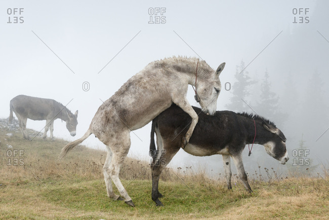 Donkeys mate while another grazes nearby in the fog on the Piatra Mare mountains.