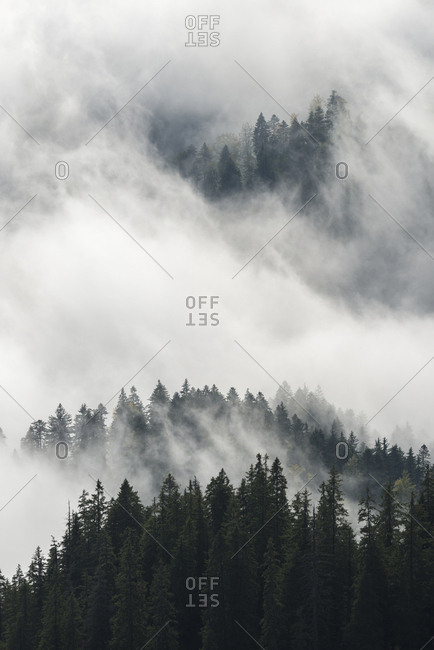 Thick fog weaves through evergreens in the Piatra Mare Mountains.