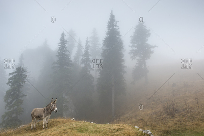A donkey stands on a grassy patch in the fog in Piatra Mare Mountains.