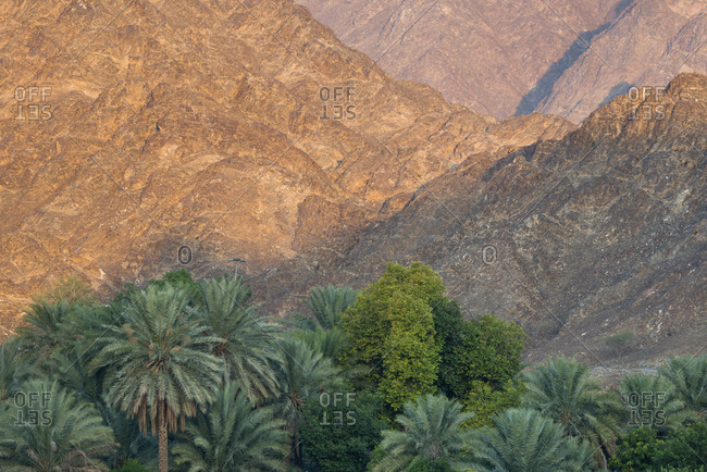 Trees on a date palm plantation grow by sundrenched Hajjar mountains.