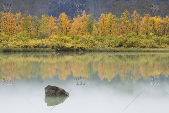 Yellow birch trees are reflected in a glassy lake.