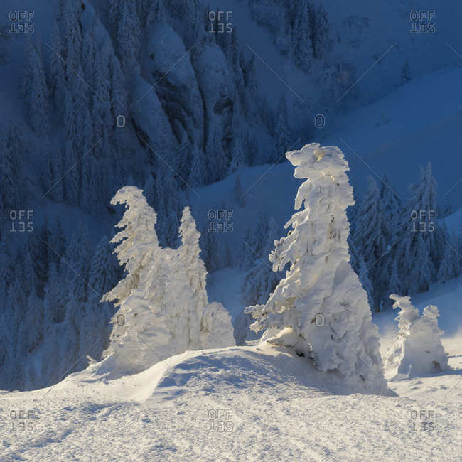Frost-covered spruce trees, Picea abies, gleam in sunlight.