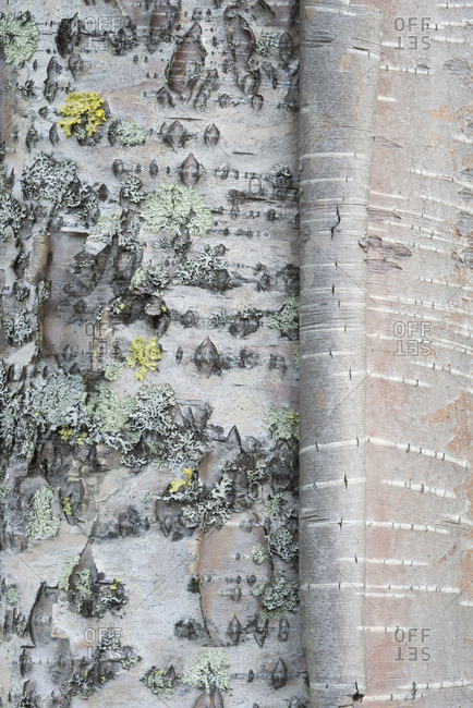 Close-up of the bark of a birch tree.