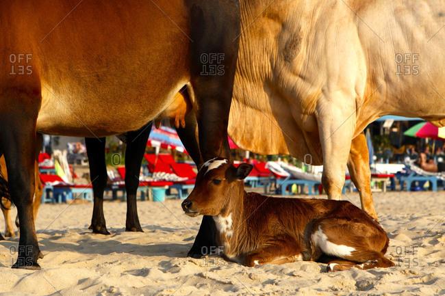 Young Cow, Bos Taurus, relaxing at Baga Beach.