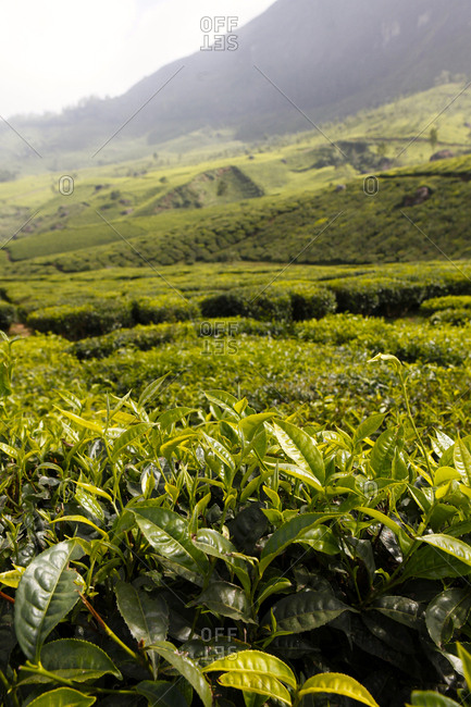 Scenic view of the tea plantations in Munnar.