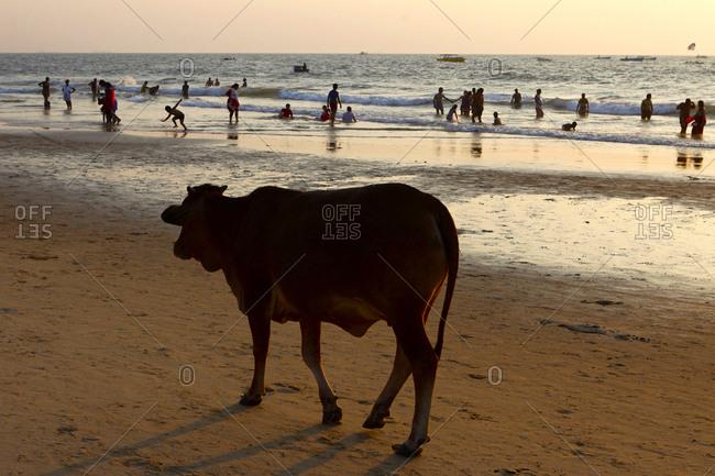 Goa, India - December 23, 2015: A Cow, Bos Taurus, hanging out at Baga Beach.